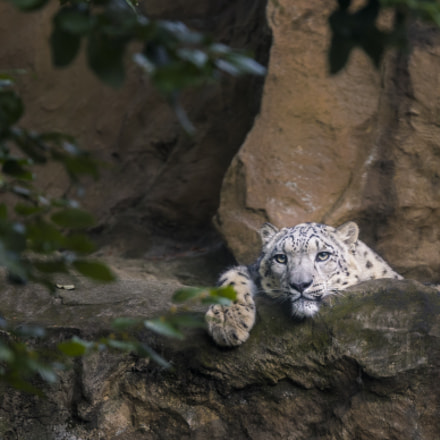 Relaxing Snow Leopard, Sony ILCA-77M2, Tamron SP 70-200mm F2.8 Di USD