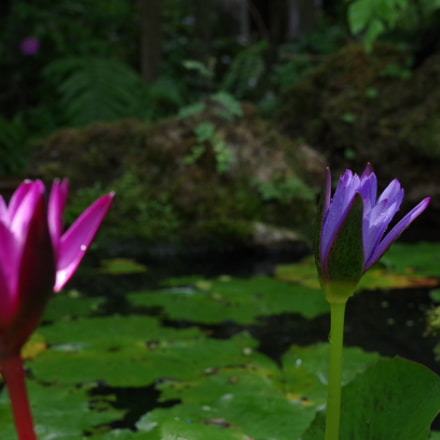 Pink and purple flowers with water lilies