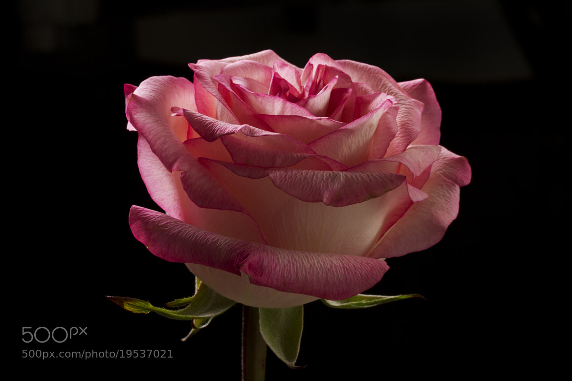 Photograph Rose with back light by Cristobal Garciaferro Rubio on 500px