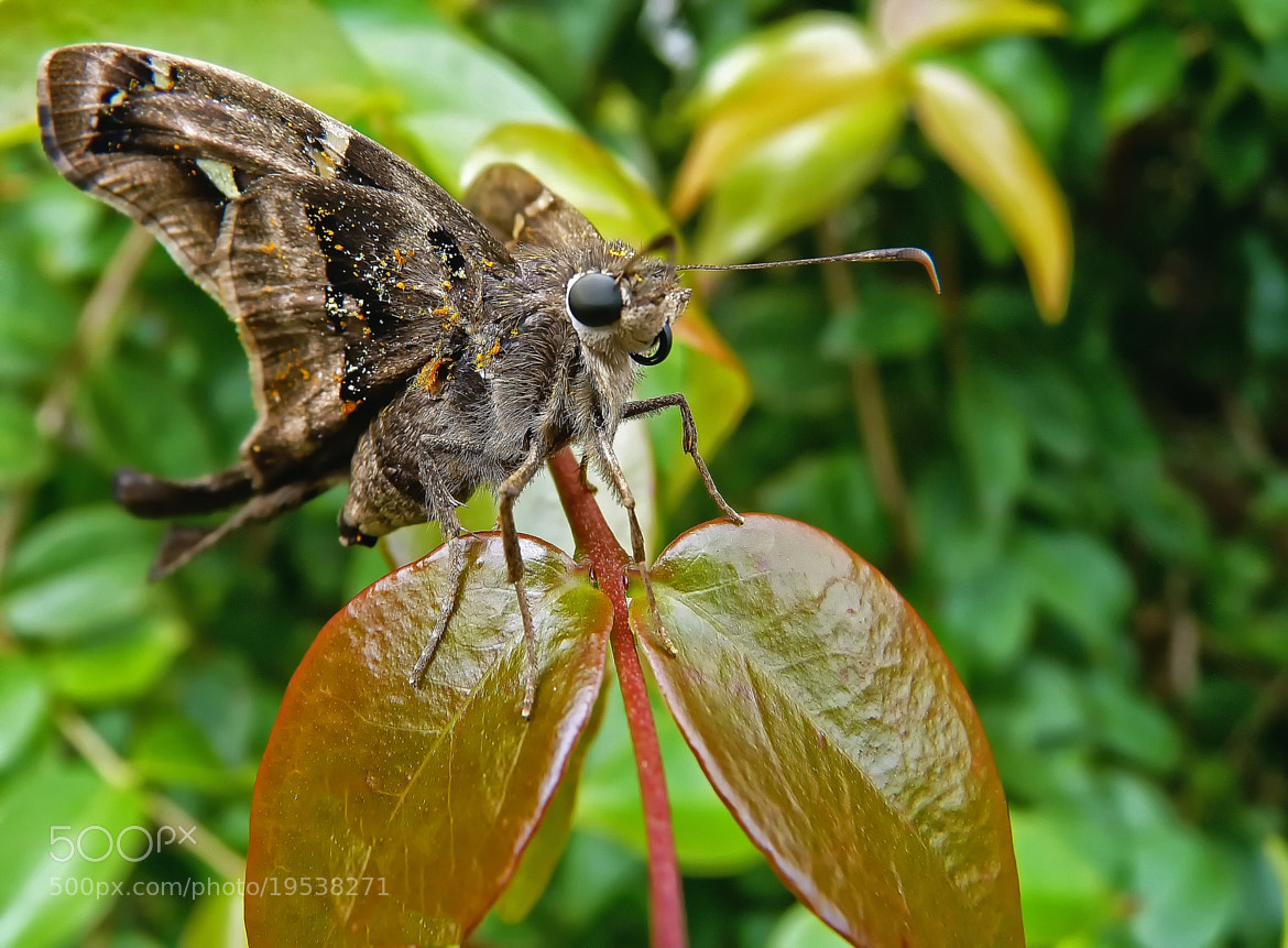 Photograph Long-tailed Skipper  by Pedro Henrique Evangelista on 500px