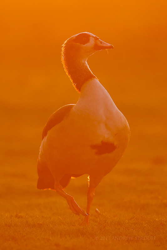 Photograph Egyptian Goose at sunset by Andrew Sproule on 500px