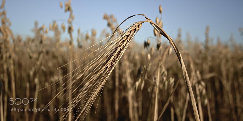 Photograph Wheat by Maryse Vallée on 500px