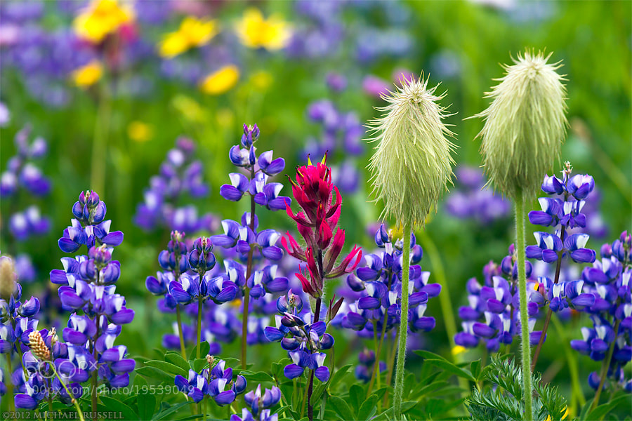 Photograph Lupines, Anenomes and Paintbrush by Michael Russell on 500px