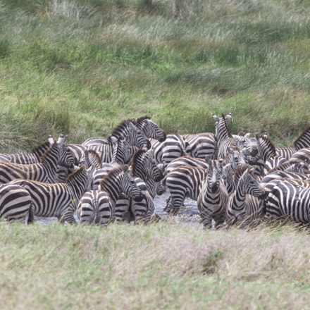 Zebra Reunion, Canon EOS-1D X, Canon EF 400mm f/4 DO IS II USM