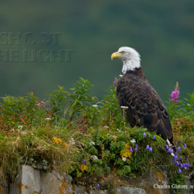Bald Eagle in wildflowers by Charles Glatzer (Chas)) on 500px.com