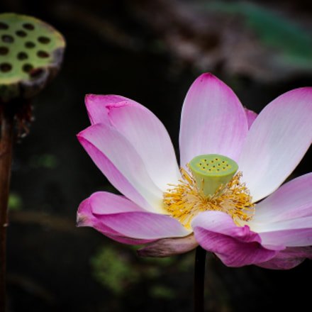 Lotus Flower - Spirit