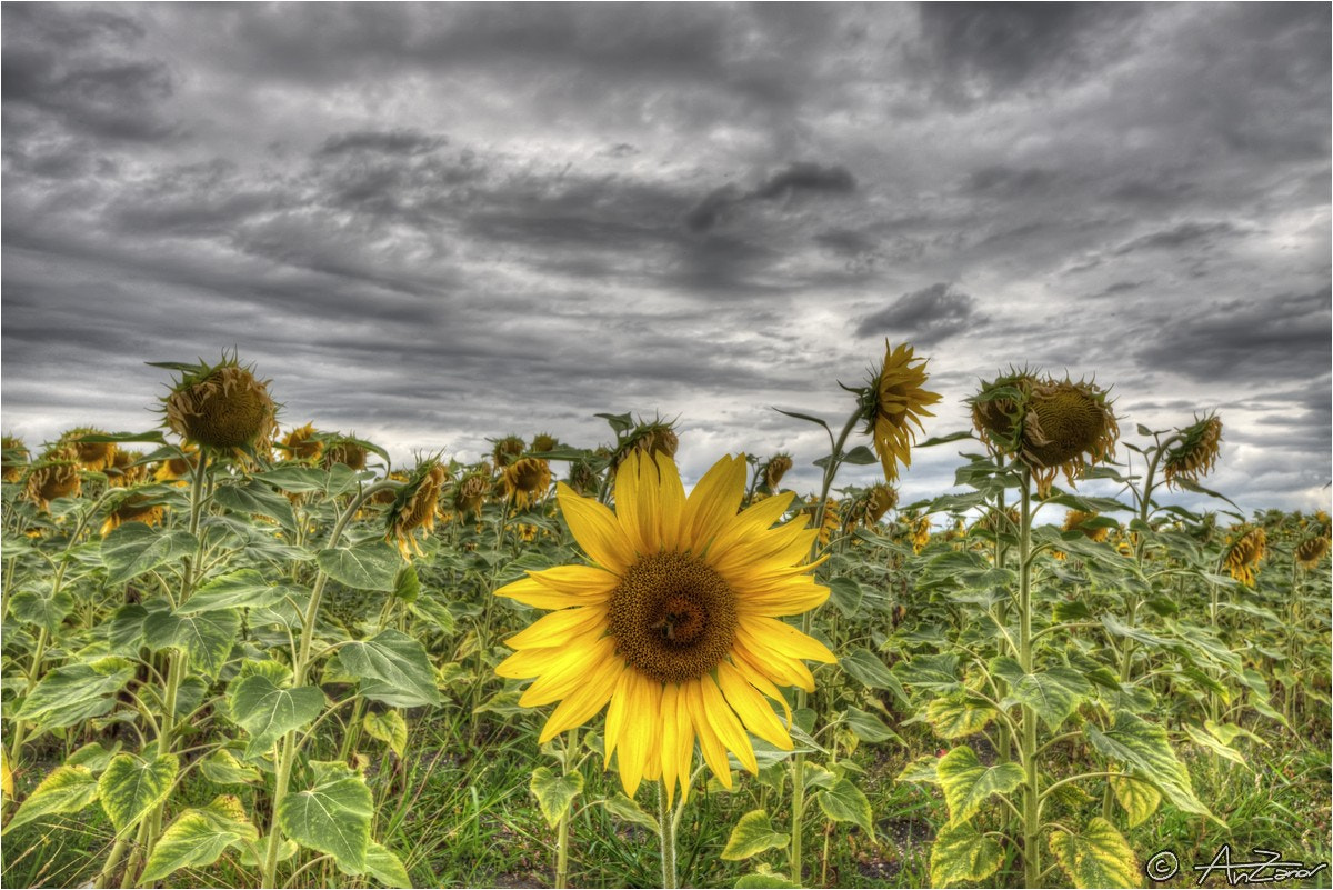 summer sunflowers andrea - photo #17