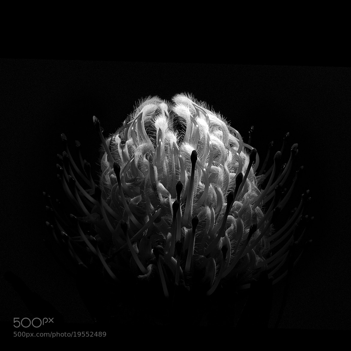 Photograph Protea by Roberto Besana on 500px