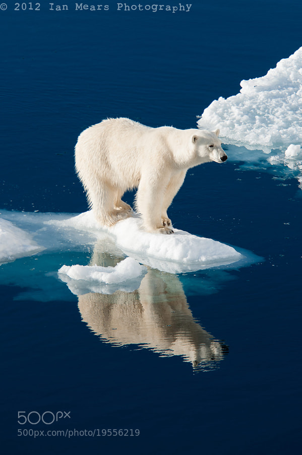 Polar bear standing on Ice berg