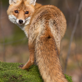 Red Fox by Milan Zygmunt (Milan_Zygmunt)) on 500px.com
