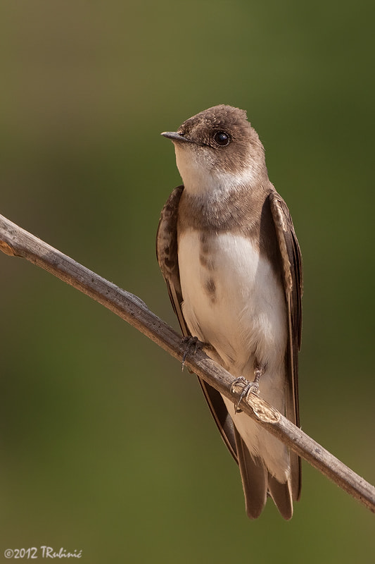 Photograph      Collared Sand Martin by Tomica Rubinić on 500px