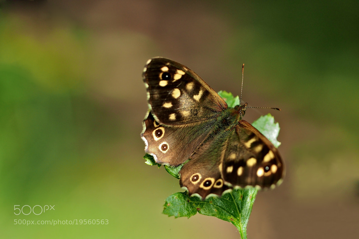 Photograph Speckled Wood by John Purchase on 500px