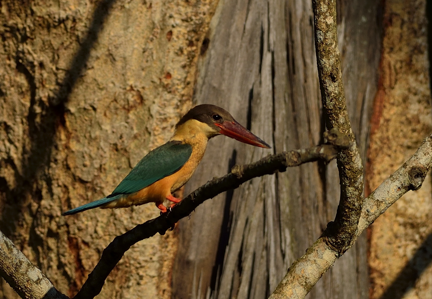 Photograph Stork Billed Kingfisher by Vinayak Shankar on 500px