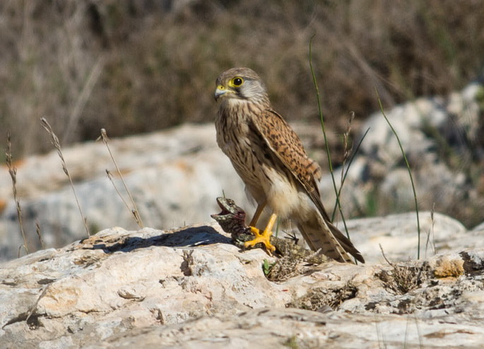 Photograph Falcon in action by Jonathan Grinhauz on 500px