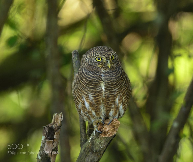 Photograph Asian Barred Owlet by Vinayak Shankar on 500px