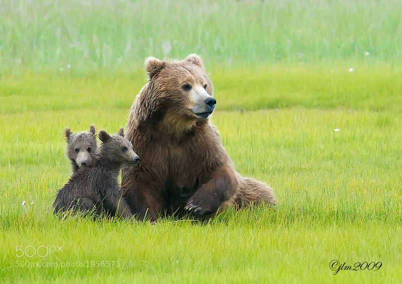 This mother grizzly and her cubs were resting when something caught the mother;s attention and they all sat up and the mother raised her paw in preparation for what was to come next.  She must have smelled danger or heard danger but we never say anything.