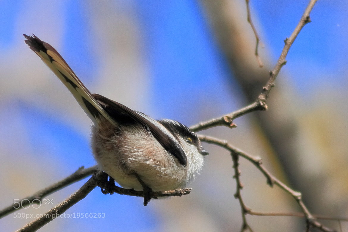 Photograph Long-tailed Tit by Yellow Monkey on 500px