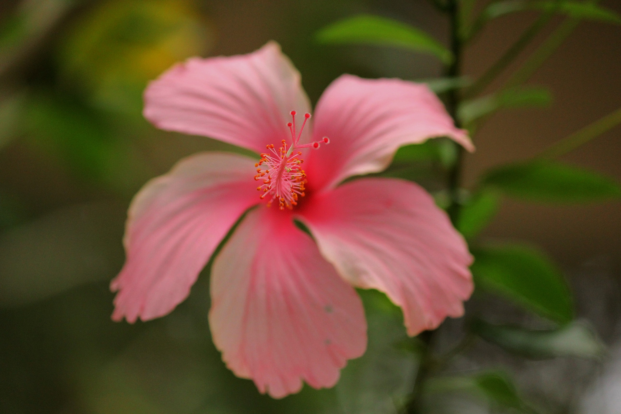 Photograph Hibiscus by Vignesh Kumar on 500px
