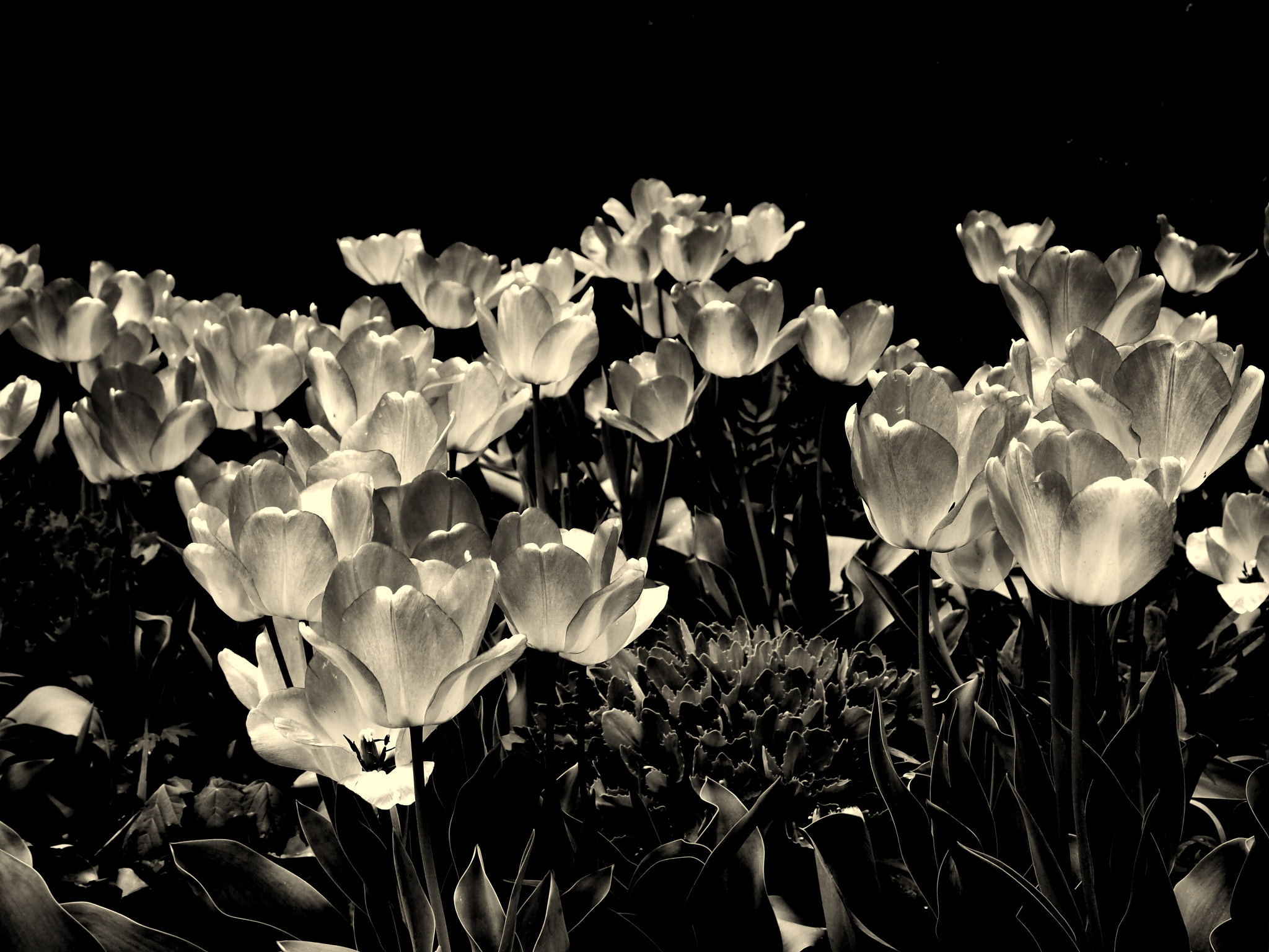 Photograph Tulips without colour by Alex Lau on 500px
