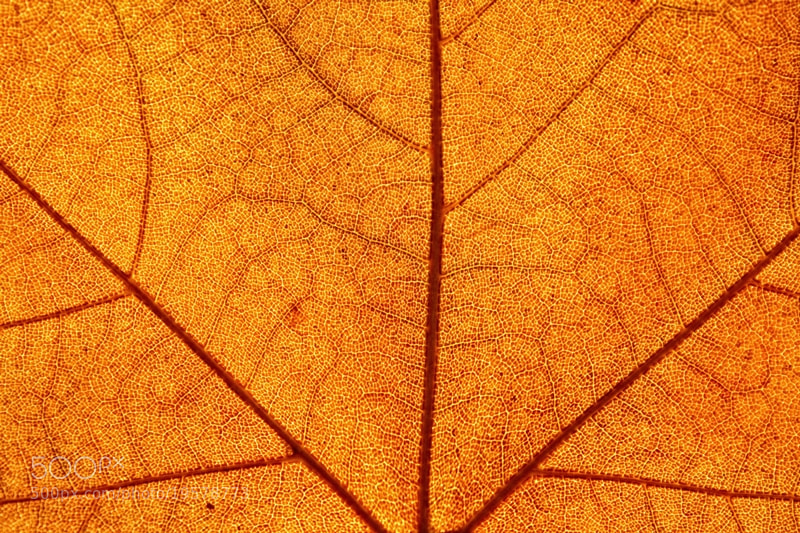 Photograph Leaf 01 by Sonia Martín on 500px