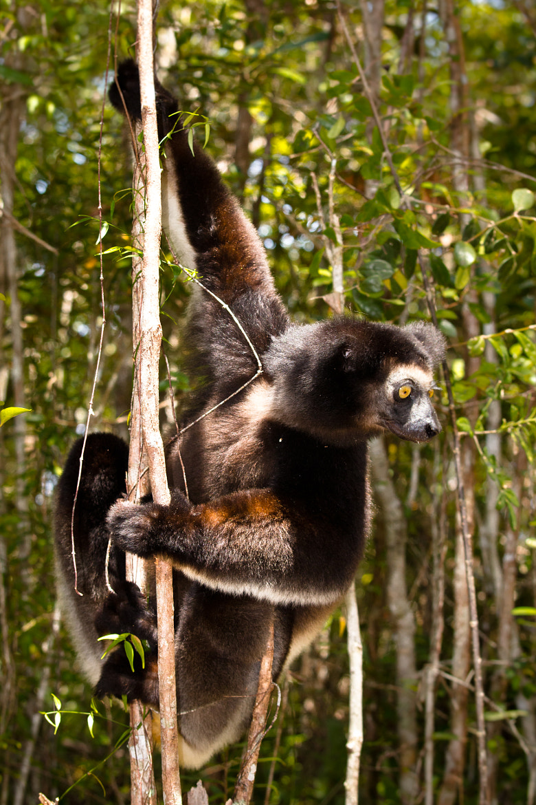 Photograph Curious Indri by Rüdiger Hund on 500px