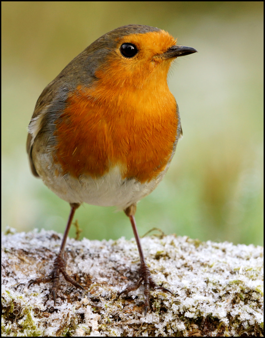 Photograph Winter Robin by Mike Turtle on 500px