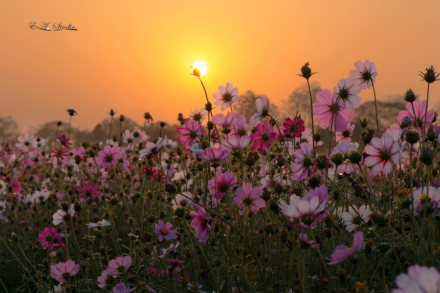 The Coreopsis Under the Sunrise(广州海珠湖波斯菊) by Zhijun YE on 500px.com