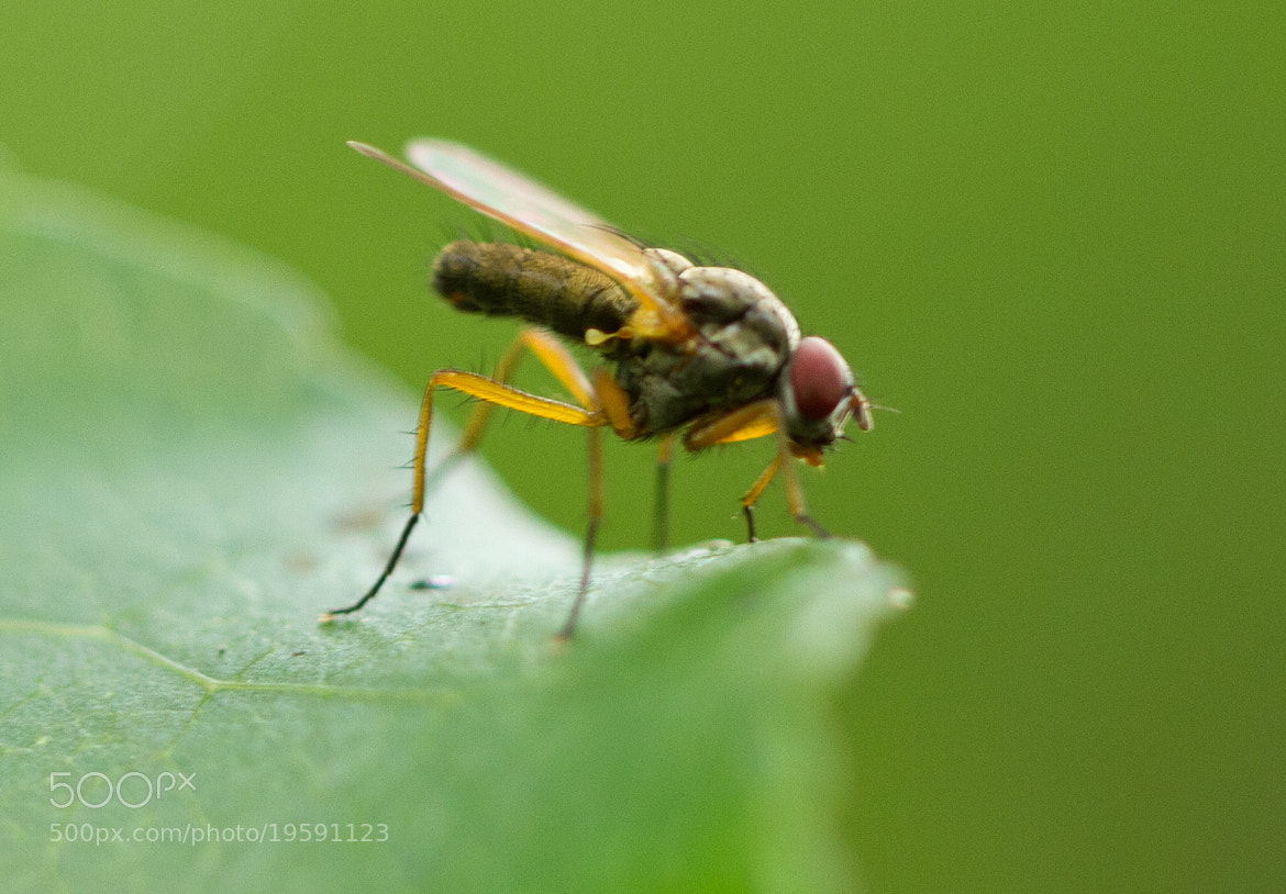 Photograph Fly on a leaf by John Hoey on 500px