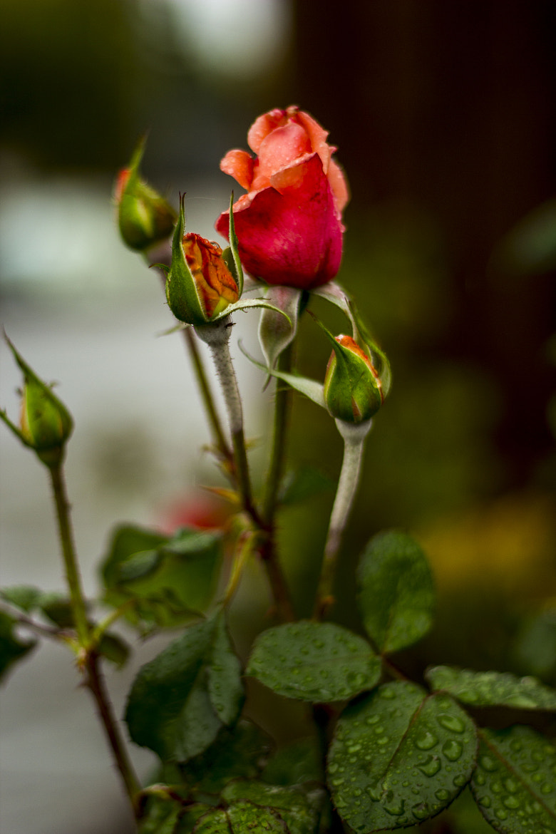 Photograph Red Rose Bud by Sanjeev Jain on 500px