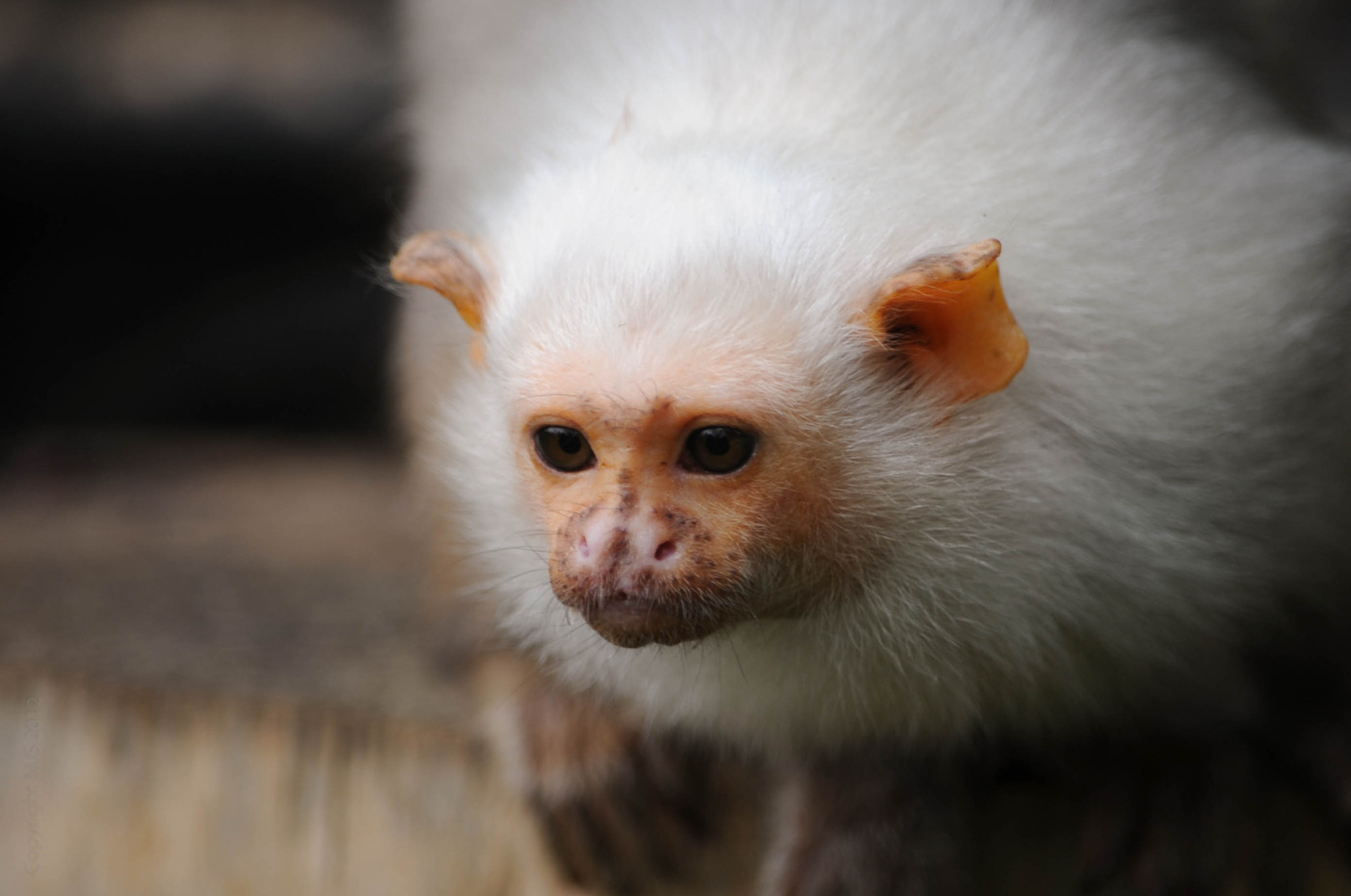 Photograph Marmoset, Whipsnade Zoo by Mike Smith on 500px