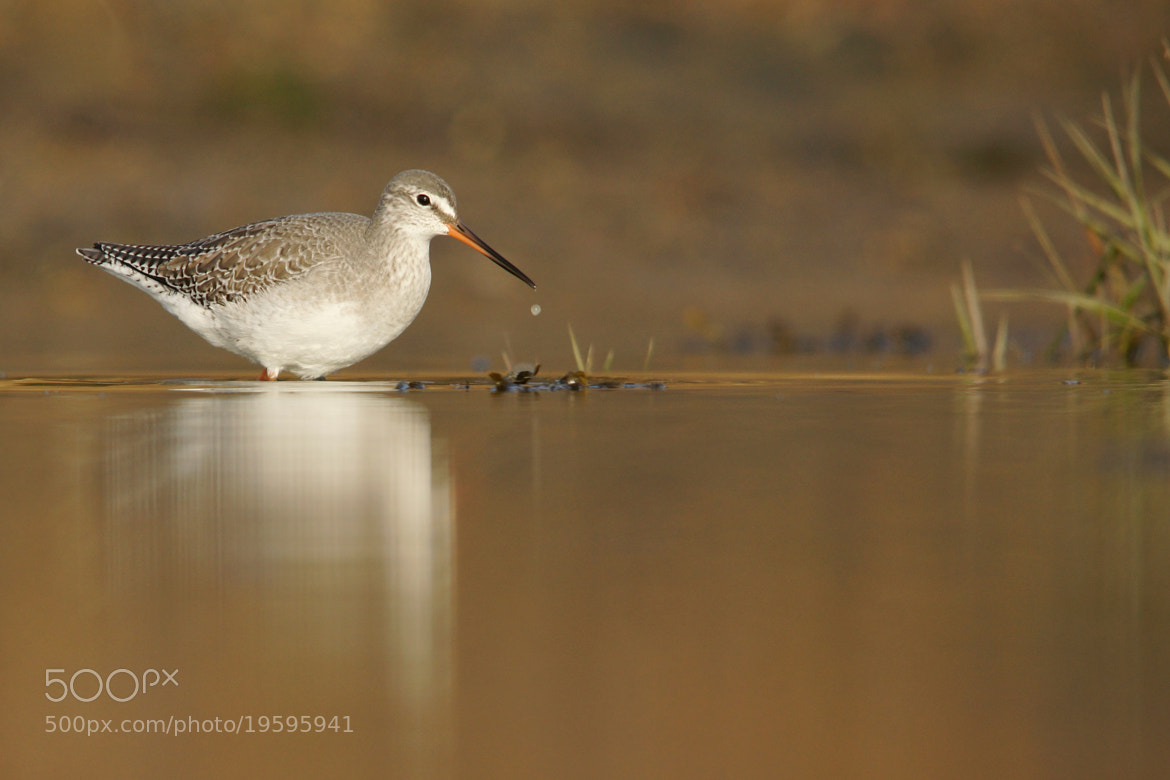 Photograph Spotted Redshank by Alex Berryman on 500px