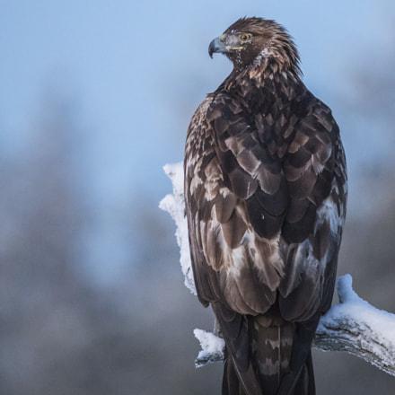 perching, Canon EOS-1D X MARK II, Canon EF 400mm f/4 DO IS