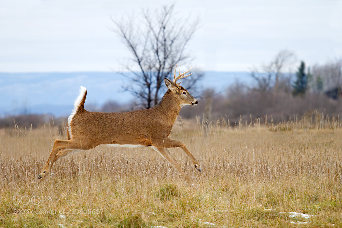 Photograph Buck on the Run 2 by Jim Cumming on 500px