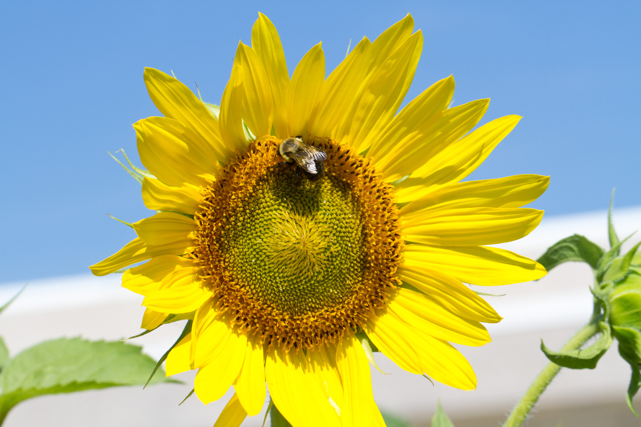 Photograph Bee on a sunflower by John Hoey on 500px