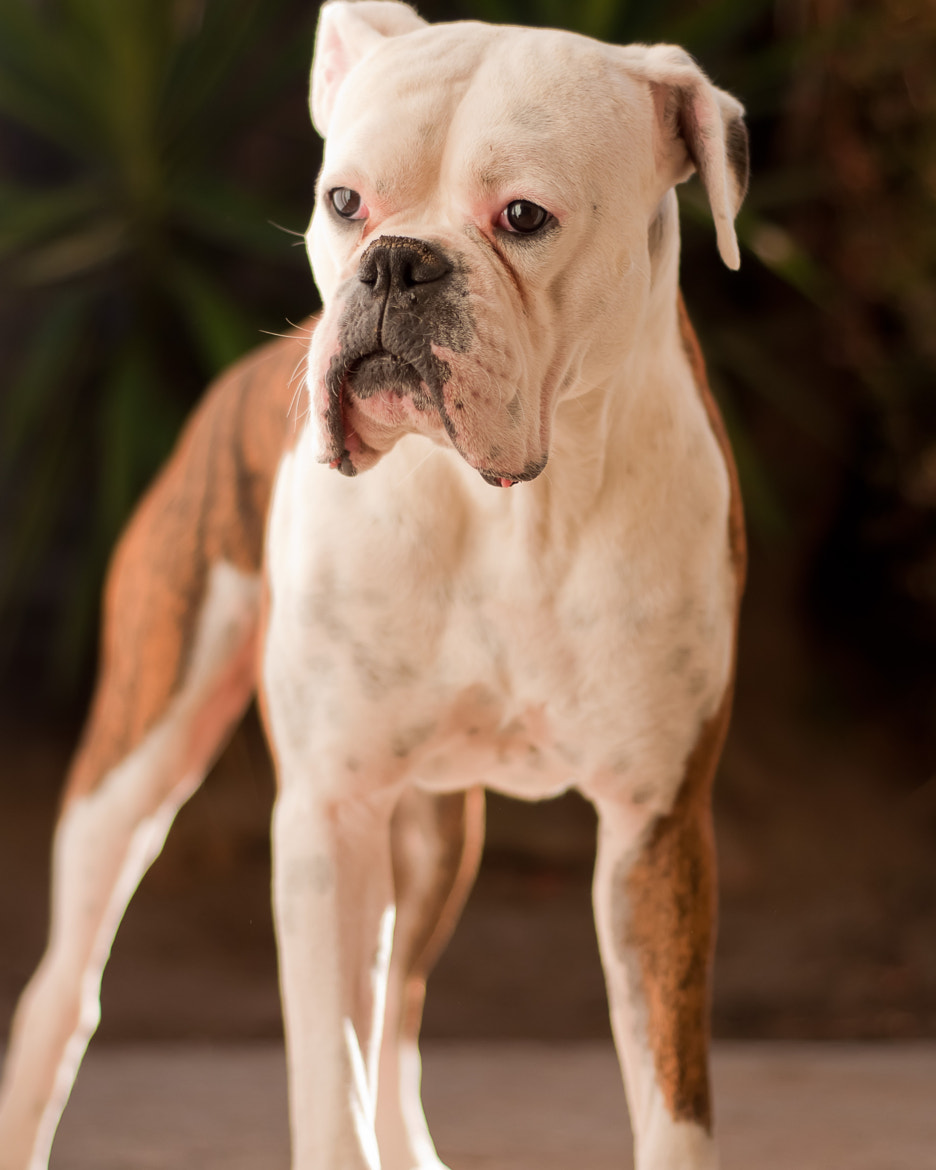 Photograph Boxer posing  by Stylish1Photography on 500px