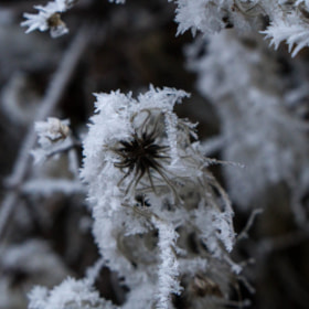 Photograph winterFlower by Lukas Bachschwell