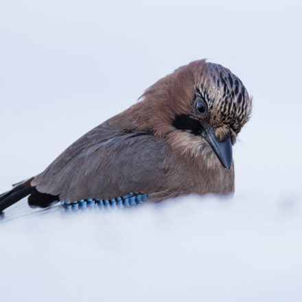 behind the snowdrift, Canon EOS-1D X MARK II, Canon EF 400mm f/4 DO IS
