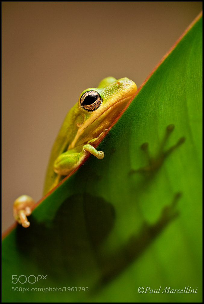 Photograph Little Green Tree Frog II by Paul Marcellini on 500px