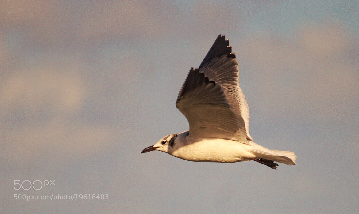 Photograph Laughing Gull (non-breeding) by Andrew Johnson on 500px