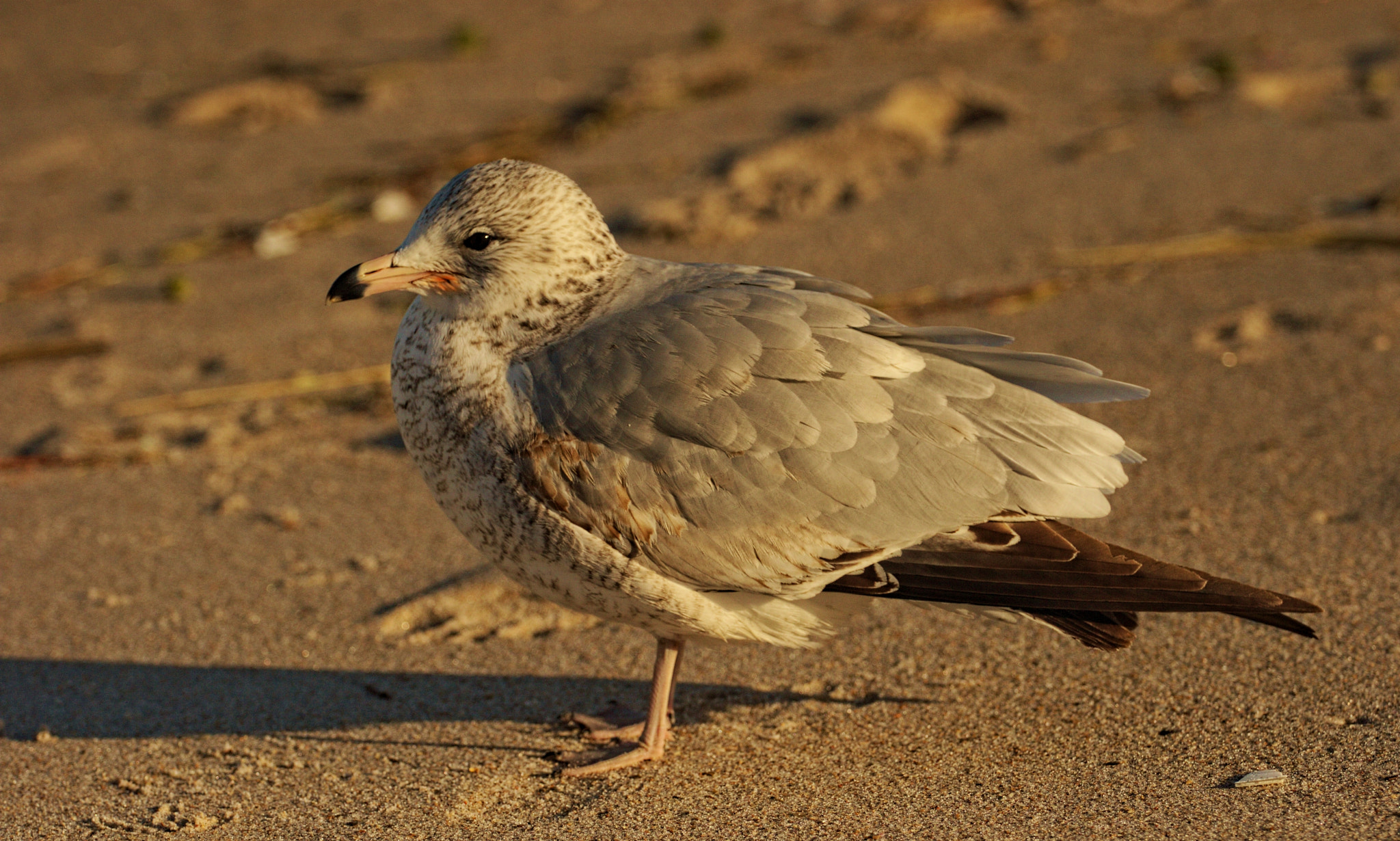Photograph Ring-billed Gull (first winter) by Andrew Johnson on 500px