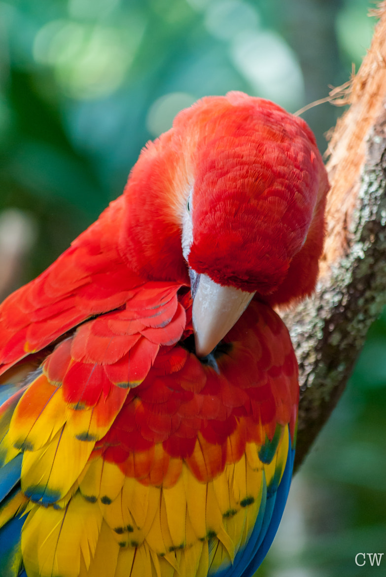 Photograph Scarlett Macaw 2 by Cara Whittaker on 500px