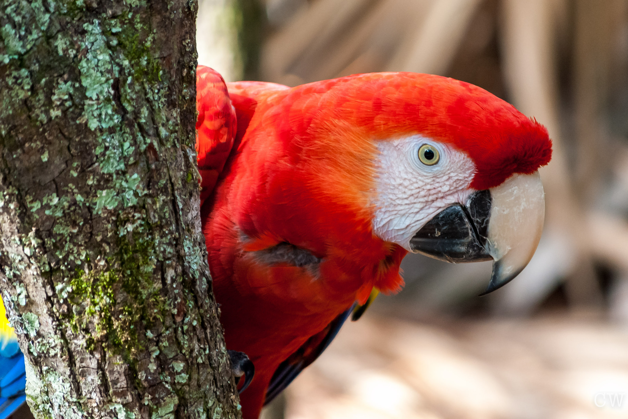 Photograph Scarlett Macaw 3 by Cara Whittaker on 500px