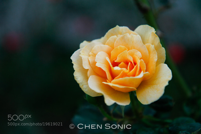 Photograph Rose by chen_sonic on 500px