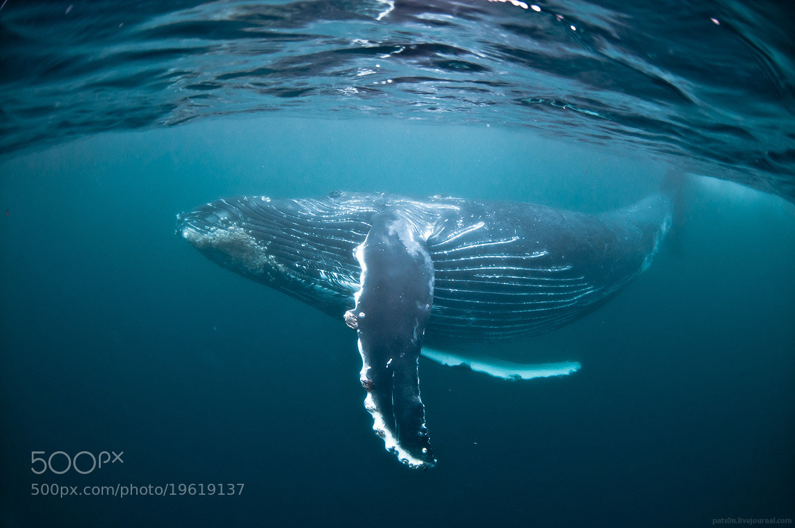 Photograph dancing whale by Alexander Safonov on 500px