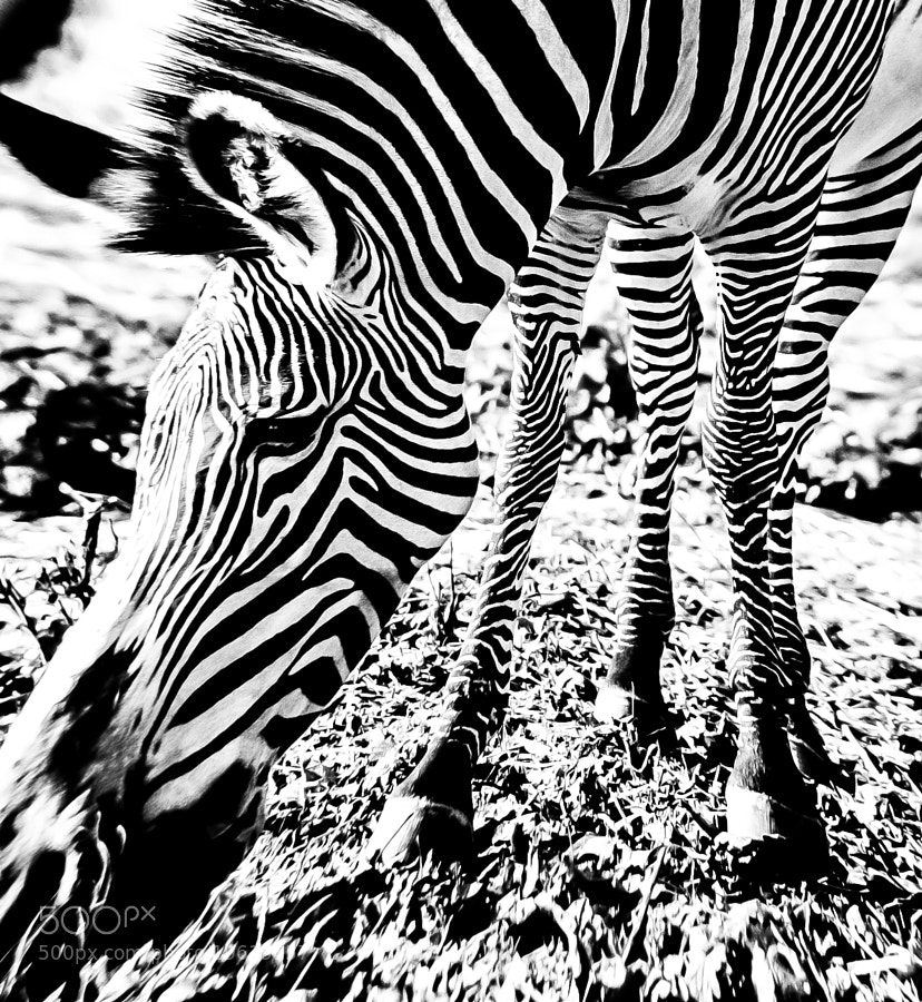 Note: no zebras or lemons were hurt in this work.