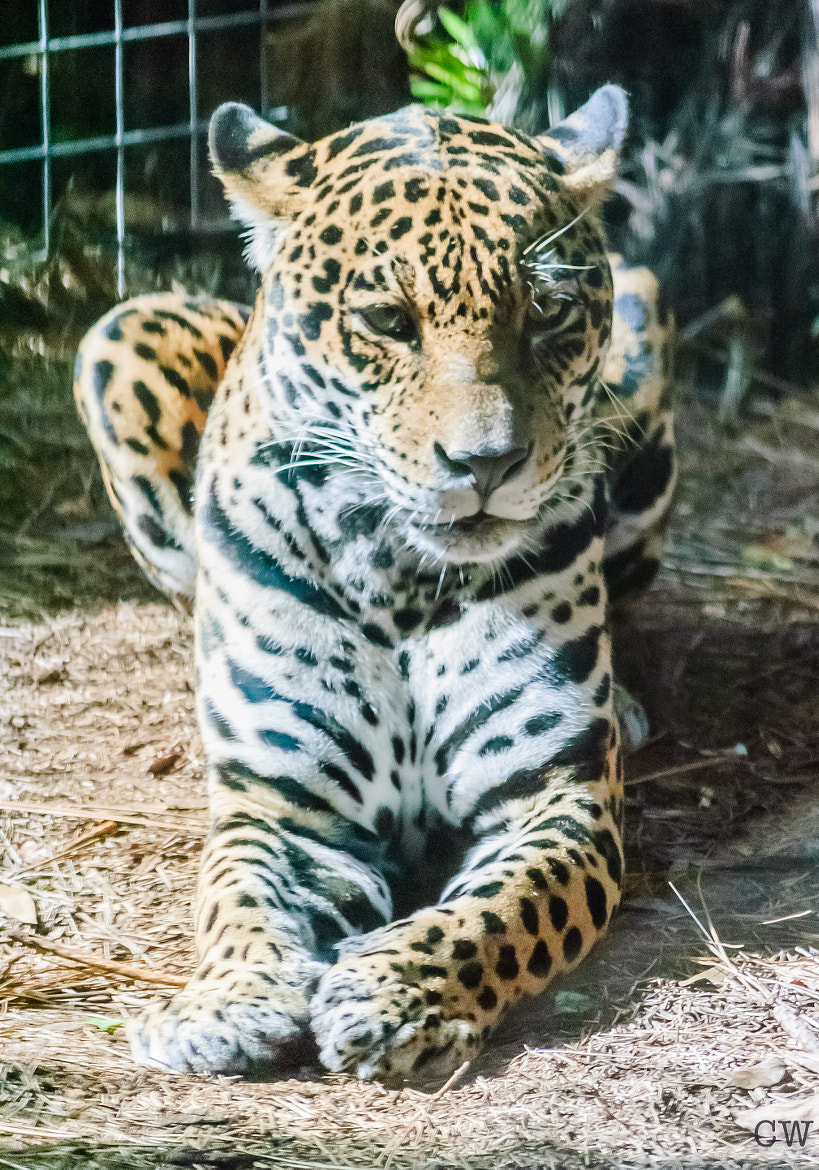 Photograph Jaguar by Cara Whittaker on 500px