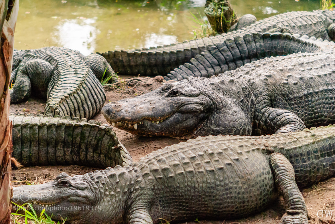 Photograph Gator group. by Cara Whittaker on 500px