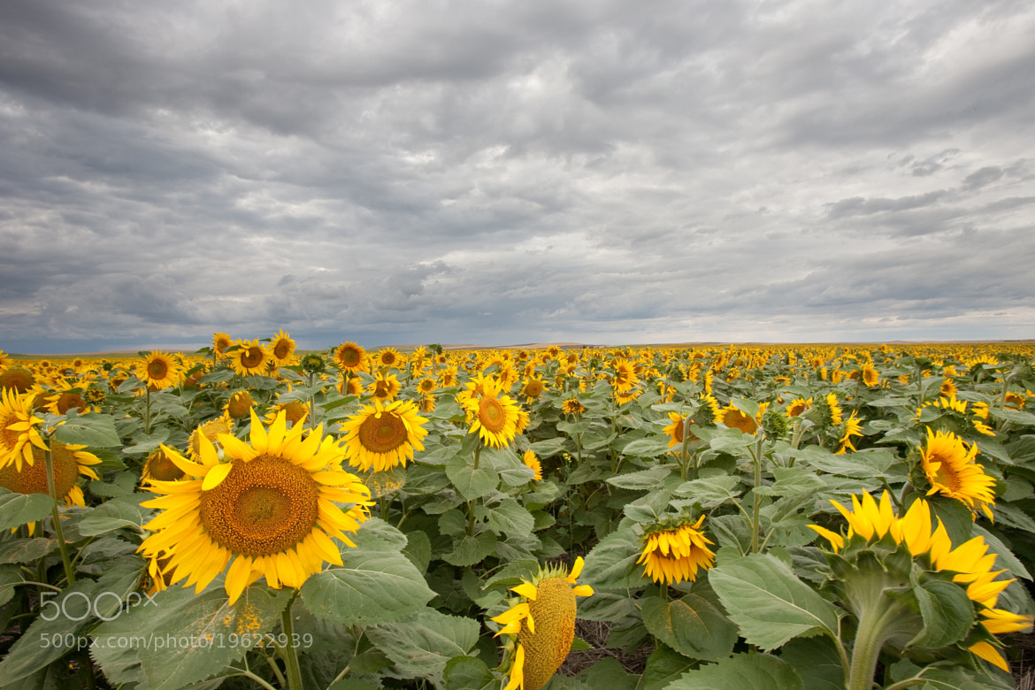 Photograph Sunflowers Forever by Ron Hiller on 500px