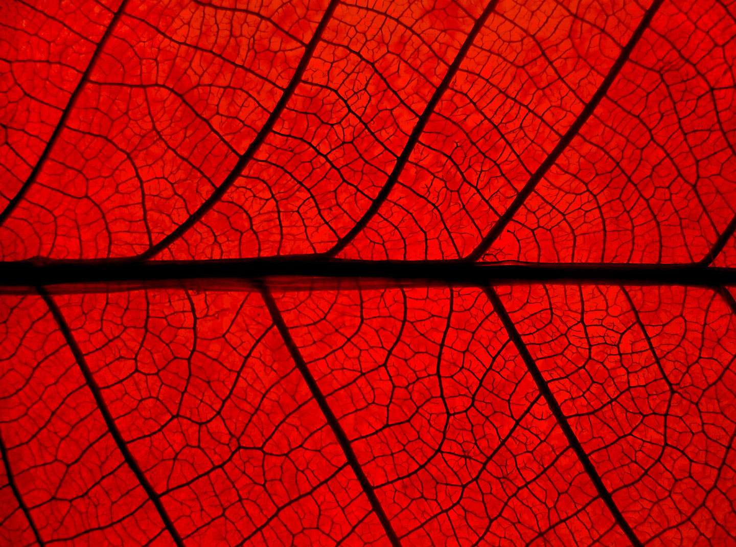 Photograph red leaf by Mister Mark  on 500px