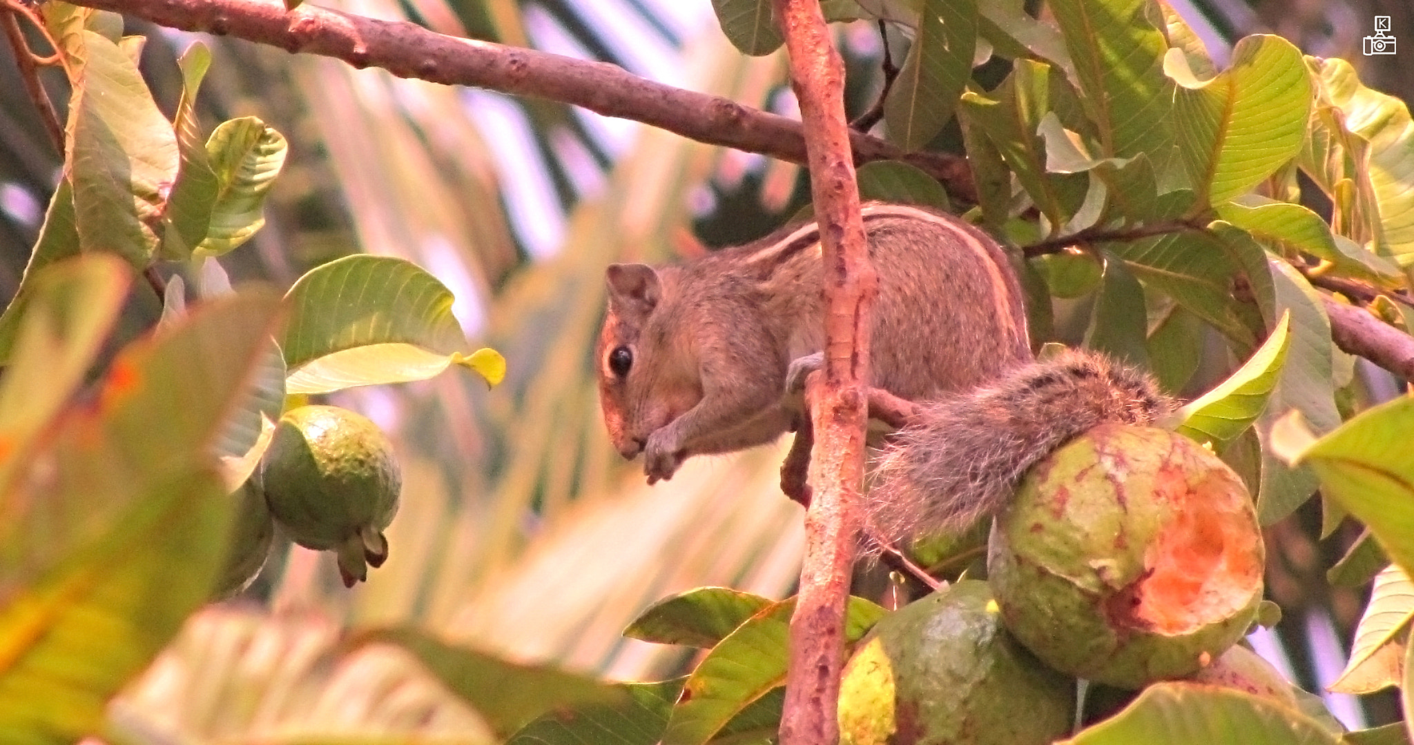 Photograph  Squirrel sitting on a branch eating guava.... by Krishna Kumar on 500px